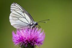 Μακρο μαύρος-φλεβώές άσπρο crataegi τ aporia πεταλούδων πλάγιας όψης Στοκ Φωτογραφία