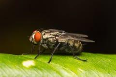 Μακρο μικρές μύγες Στοκ εικόνα με δικαίωμα ελεύθερης χρήσης