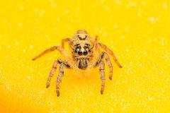 Μακρο μικρή αράχνη Στοκ Φωτογραφία