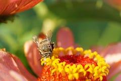 Μακρο μπροστινή άποψη του καυκάσιου ριγωτού γκρίζου albigena Amegilla μελισσών στοκ φωτογραφίες με δικαίωμα ελεύθερης χρήσης