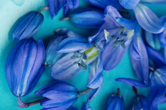 Μακρο μπλε άνθος λουλουδιών άνοιξη στο πιάτο aqua Στοκ εικόνες με δικαίωμα ελεύθερης χρήσης
