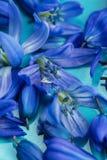 Μακρο μπλε άνθος λουλουδιών στο πιάτο aqua Στοκ Εικόνα