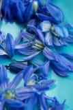 Μακρο μπλε λουλούδια άνοιξη στο πιάτο aqua Στοκ Εικόνες