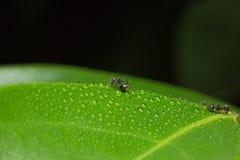 μακρο μυρμήγκι στον κλάδο Στοκ Εικόνες