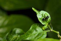 Μακρο μυρμήγκι Στοκ Εικόνες