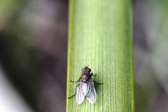 Μακρο μύγα κήπων Στοκ Φωτογραφία