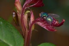 Μακρο μύγα σε ένα φύλλο Στοκ Εικόνα