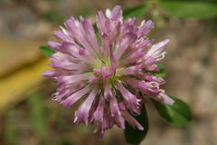 Μακρο λουλούδι Στοκ Εικόνα