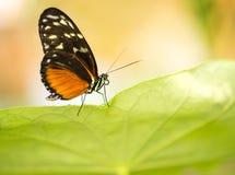 Μακρο πεταλούδα μοναρχών στο πράσινο φύλλο Στοκ εικόνες με δικαίωμα ελεύθερης χρήσης