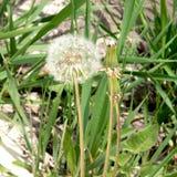 Μακρο πικραλίδα που έχει εξασθενίσει Πικραλίδα με τους σπόρους για την αναπαραγωγή στοκ φωτογραφία