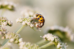 Μακρο πορτοκάλι φωτογραφιών ladybug Γυναικείο πουλί σε ένα τοπ άσπρο λουλούδι Μαλακό και μουτζουρωμένο υπόβαθρο κήπων πεδίο βάθου Στοκ Φωτογραφία