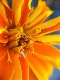 Μακρο πορτοκαλί λουλούδι Στοκ φωτογραφία με δικαίωμα ελεύθερης χρήσης