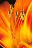μακρο πορτοκαλιά γύρη κρίνων stamens Στοκ Φωτογραφίες