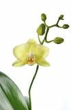 Μακρο πράσινο Orchid Στοκ Φωτογραφία
