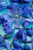 Μακρο πρόωρο μπλε άνθος λουλουδιών στο πιάτο aqua Στοκ φωτογραφία με δικαίωμα ελεύθερης χρήσης