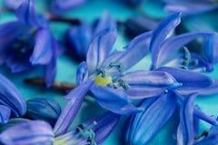 Μακρο πρόωρο μπλε άνθος scilla στο πιάτο aqua Στοκ εικόνες με δικαίωμα ελεύθερης χρήσης