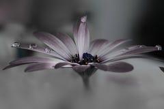 Μακρο πτώση σε ένα ρόδινο λουλούδι Στοκ φωτογραφία με δικαίωμα ελεύθερης χρήσης