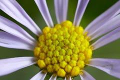 Μακρο πυρήνας λουλουδιών Στοκ Εικόνες