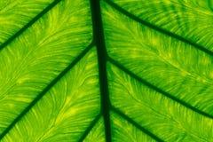 Μακρο πυροβοληθείσα λεπτομέρεια του πράσινου υποβάθρου σύστασης φύλλων Γραμμή σχεδίων φρέσκου πράσινου φύλλου Αφηρημένη πράσινη σ στοκ εικόνες με δικαίωμα ελεύθερης χρήσης