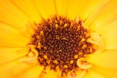 Μακρο πυροβολισμός ενός κίτρινου λουλουδιού στοκ φωτογραφίες