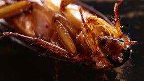 Μακρο πυροβολισμός κατσαρίδων απόθεμα βίντεο