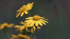 Μακρο πυροβολισμός, λίγο κίτρινο λουλούδι που κυματίζει στον αέρα στα ξύλα απόθεμα βίντεο