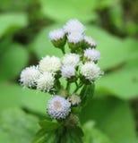 Μακρο πυροβολισμός λουλουδιών ζιζανίων Στοκ Εικόνες