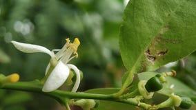 Μακρο πυροβολισμός λουλουδιών λεμονιών που στρέφεται καλά με τα πράσινα φύλλα στοκ εικόνα