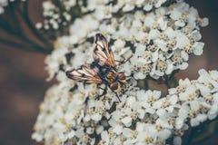 Μακρο πυροβολισμός της μικρής συνεδρίασης κανθάρων στα άσπρα λουλούδια στοκ φωτογραφία με δικαίωμα ελεύθερης χρήσης