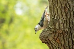 Μακρο πυροβολισμός του πουλιού στο δέντρο πουλί στο βιότοπο φύσης Στοκ Εικόνες