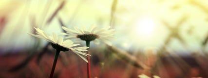 Μακρο πυροβολισμός των άσπρων λουλουδιών μαργαριτών στο φως ηλιοβασιλέματος στοκ φωτογραφία με δικαίωμα ελεύθερης χρήσης