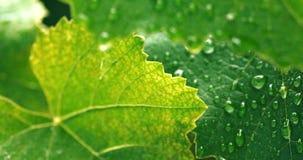 Μακρο πυροβολισμός των φρέσκων πράσινων φύλλων την ορατή δομή φλεβών που καλύπτεται με με τις πτώσεις του νερού φιλμ μικρού μήκους