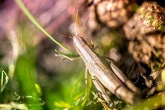 Μακρο πυροβολισμός grasshopper, που πιάνεται επιλέγοντας τα μανιτάρια και τα τα βακκίνια στο δάσος το πρώιμο φθινόπωρο Στοκ Εικόνα