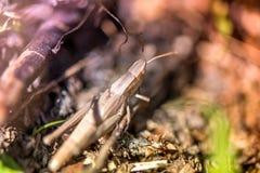 Μακρο πυροβολισμός grasshopper, που πιάνεται επιλέγοντας τα μανιτάρια και τα τα βακκίνια στο δάσος το πρώιμο φθινόπωρο Στοκ Εικόνες
