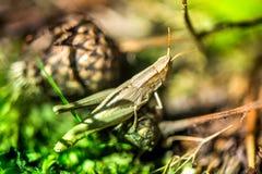 Μακρο πυροβολισμός grasshopper, που πιάνεται επιλέγοντας τα μανιτάρια και τα τα βακκίνια στο δάσος το πρώιμο φθινόπωρο Στοκ εικόνα με δικαίωμα ελεύθερης χρήσης
