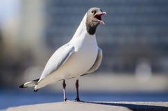 Μακρο πυροβολισμός seagull που στέκεται στο κιγκλίδωμα Στοκ φωτογραφία με δικαίωμα ελεύθερης χρήσης