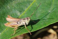 Μακρο πυροβολισμός μεγάλο πράσινο grasshopper Grasshopper κάθεται στο φρέσκο φύλλο Στοκ εικόνες με δικαίωμα ελεύθερης χρήσης