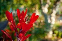 Μακρο πυροβολισμός του κόκκινου λουλουδιού στον ηλιόλουστο κήπο Στοκ Φωτογραφία