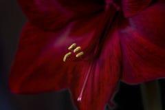 Μακρο πυροβολισμός του κόκκινου λουλουδιού Amaryllis για τις διακοπές Στοκ Εικόνες