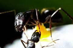 Μακροεντολή μυρμηγκιών Στοκ φωτογραφία με δικαίωμα ελεύθερης χρήσης