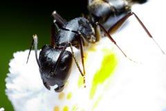 Μακροεντολή μυρμηγκιών Στοκ εικόνα με δικαίωμα ελεύθερης χρήσης