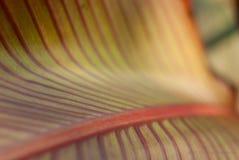 Μακρο πυροβολισμός του πράσινου φύλλου με τα κόκκινα λωρίδες Στοκ φωτογραφία με δικαίωμα ελεύθερης χρήσης