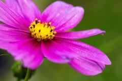 Μακρο πυροβολισμός του ρόδινου λουλουδιού κόσμου Στοκ Φωτογραφία