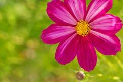 Μακρο πυροβολισμός του ρόδινου λουλουδιού κόσμου Στοκ φωτογραφίες με δικαίωμα ελεύθερης χρήσης