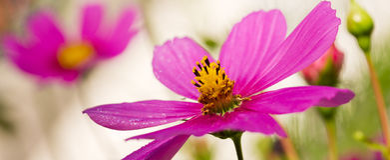 Μακρο πυροβολισμός του ρόδινου λουλουδιού κόσμου Στοκ εικόνα με δικαίωμα ελεύθερης χρήσης