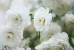 Μακρο πυροβολισμός των άσπρων λουλουδιών gypsophila Στοκ Εικόνες