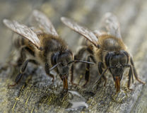 Μακρο πυροβολισμός των μελισσών μελιού Στοκ Φωτογραφία
