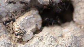 Μακρο πυροβολισμός των μυρμηγκιών φιλμ μικρού μήκους