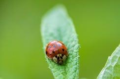 Μακρο πυροβολισμός Ladybug του προσώπου του Στοκ Εικόνα