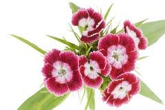 μακρο ροζ γαρίφαλων Στοκ Εικόνες